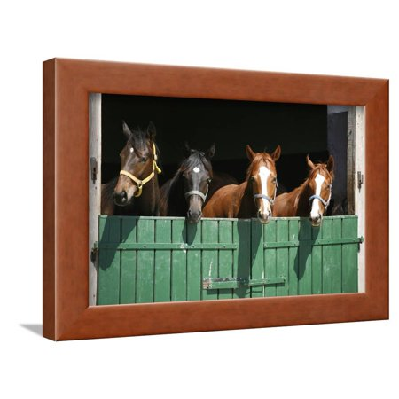 Foal Stable (Nice Thoroughbred Foals in the Stable Framed Print Wall Art By accept)