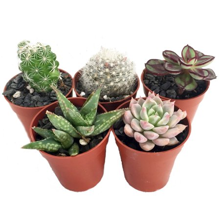 Instant Succulent Collection - Fairy Gardens/Open Terrarium -5 Plants-1.75