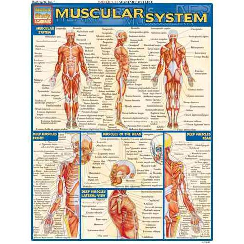 Muscular System Quick Study Reference Guide