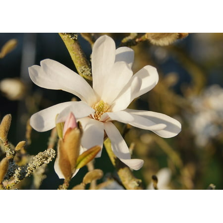 Canvas Print Flower Plant Bloom Bush Star Magnolia Blossom Stretched Canvas 10 x 14 Cotton Braided Star Blossom
