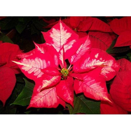 LAMINATED POSTER Poinsettia Potted Plant Pink And White Color Version Poster Print 11 x 17
