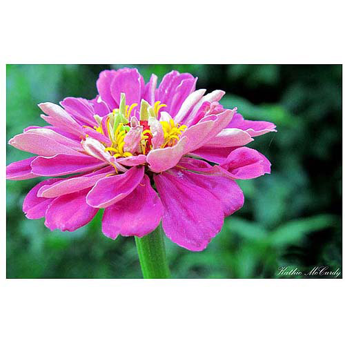 "Trademark Art ""Zinnia"" Canvas Art by Kathie McCurdy, 30x47"
