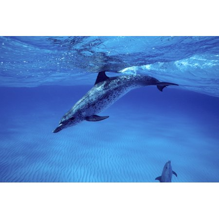 Atlantic Spotted Dolphin On The Grand Bahamas Bank Poster Print By Vwpicsstocktrek Images
