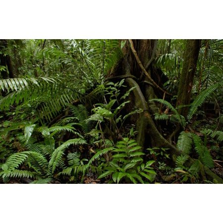 - Buttress roots and a variety of plant life in the rainforest Yasuni National Park Ecuador Poster Print by Pete Oxford