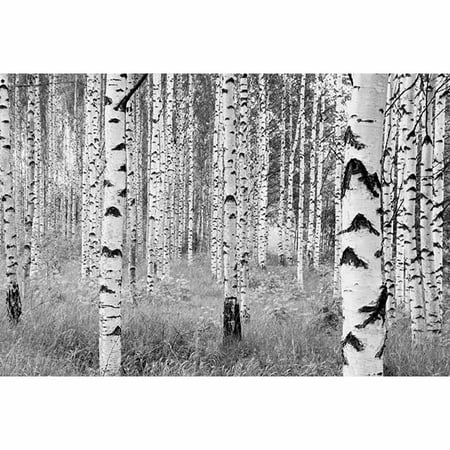 Komar Birch Forest Wall Mural (Birch Finish Wall)