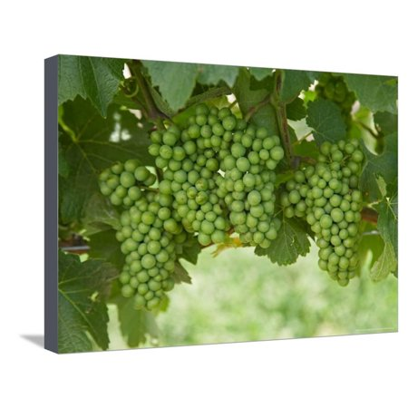 Pinot Noir Grapes, Domain Road Vineyard, Bannockburn, Central Otago, South Island, New Zealand Stretched Canvas Print Wall Art By David Wall David Bruce Pinot Noir