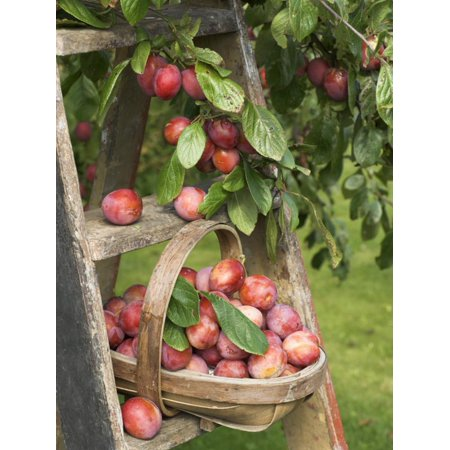 Victoria Plums Freshly Picked in a Trug in a Country Garden, England, UK Print Wall Art By Gary Smith ()