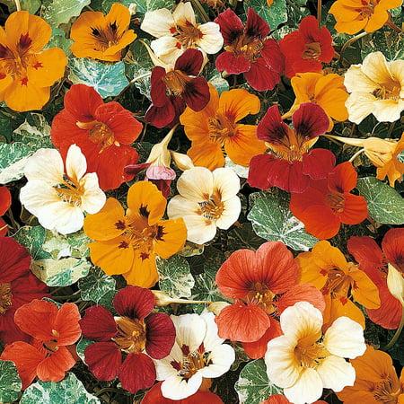 Variegated Alaska Nasturtium Tropaeolum Live Plant 3
