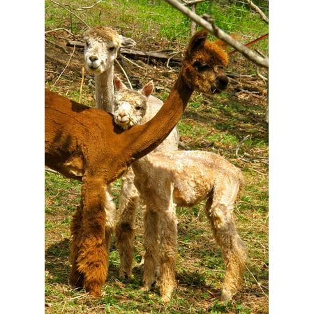 - Peel-n-Stick Poster of Animal Alpacas Fiber Cute Mammal Wool Fleece Poster 24x16 Adhesive Sticker Poster Print