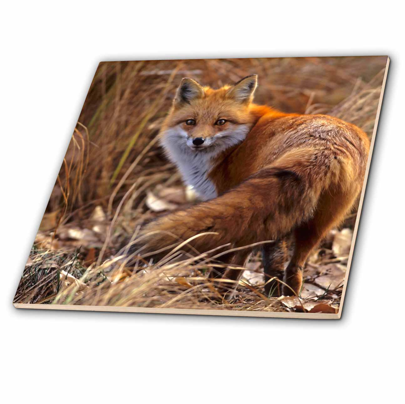 3dRose ct/_88875/_4 Colorado Jefferson County Red Fox US06 BJA0261 Jaynes Gallery Ceramic Tile 12