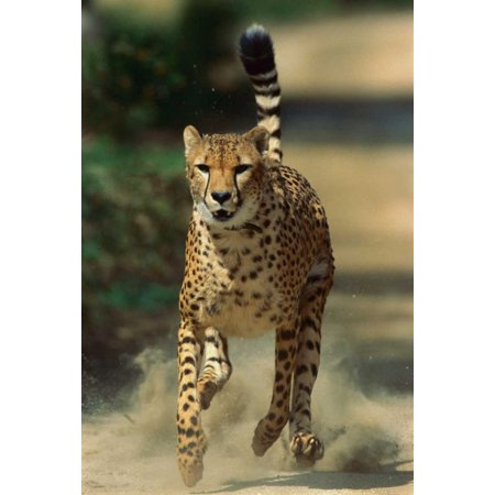 Cheetah running native to Africa Poster Print by San Diego Zoo