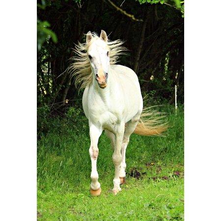 LAMINATED POSTER Thoroughbred Arabian Mold Horse Mane Stallion Poster Print 24 x