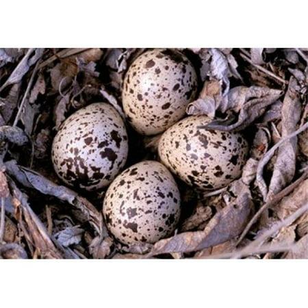 Columbia Egg (Posterazzi PDDCN02GJE0002 Nightjar Nest & Eggs Thaku River British Columbia Canada Poster Print by Gavriel Jecan - 25 x 18 in.)