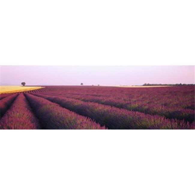 Lavender crop on a landscape  France Poster Print by  - 36 x 12 - image 1 of 1