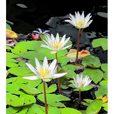 - White Tropical Water Lily - Water Garden Live Pond Plant