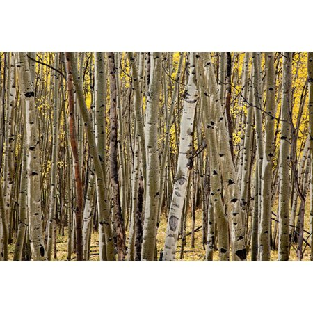 Aspen Grove I, Fine Art Photograph By: Larry Malvin; One 36x24in Fine Art Paper Giclee Print ()
