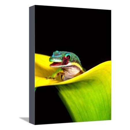 - Lined Day Gecko, Native to Madagascar Stretched Canvas Print Wall Art By David Northcott