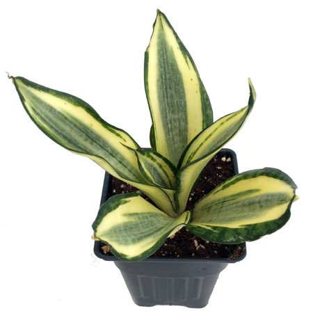 Golden Hahnii Birdsnest Snake Plant -Sanseveria-Almost Impossible to Kill-4