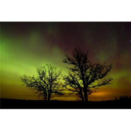 Design Pics DPI2027795LARGE Silhouettes of Bur Oak Trees & Northern Lights Birds Hill Provincial Park Manitoba Poster Print, 34 x 24 -