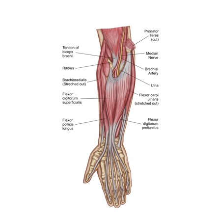 Anatomy Of Forearm Muscles Anterior View Middle Poster Print