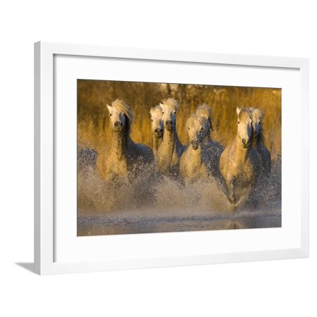 Seven White Camargue Horses Running in Water, Provence, France Framed Print Wall Art By Jaynes Gallery ()