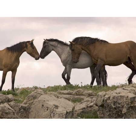 - Mustang / Wild Horse Red Dun Stallion Sniffing Mare's Noses, Montana, USA Pryor Print Wall Art By Carol Walker