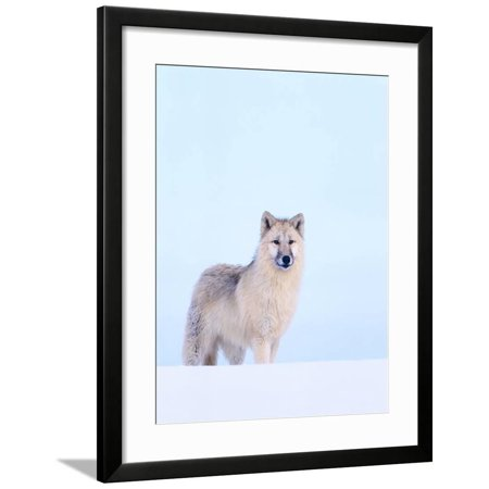 Gray Wolf in Snow Framed Print Wall Art By Jeff - Wolf Grey Retro 5 For Sale