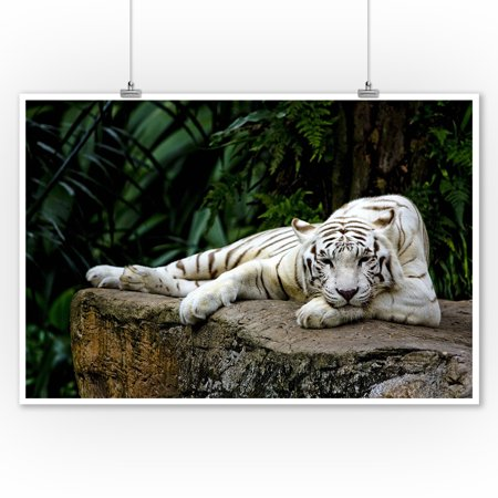 White Tiger Laying Down - Lantern Press Photography (9x12 Art Print, Wall Decor Travel Poster)