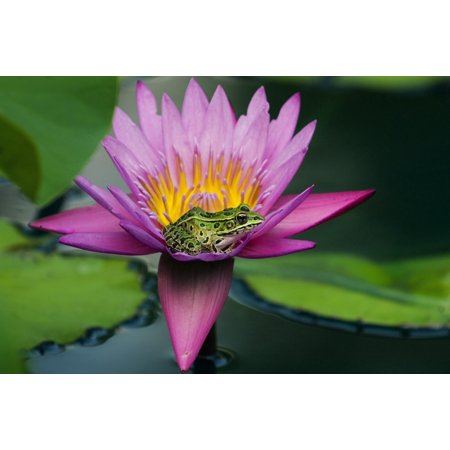 Posterazzi Frog On A Waterlily In Urban Pond Leo Mol Garden Assiniboine Park Winnipeg Manitoba Canvas Art   Mike Grandmaison  Design Pics  36 X 24
