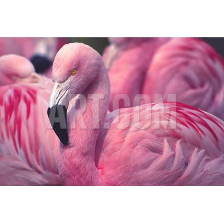 Chilean Flamingo Print Wall Art By Jeff McGraw