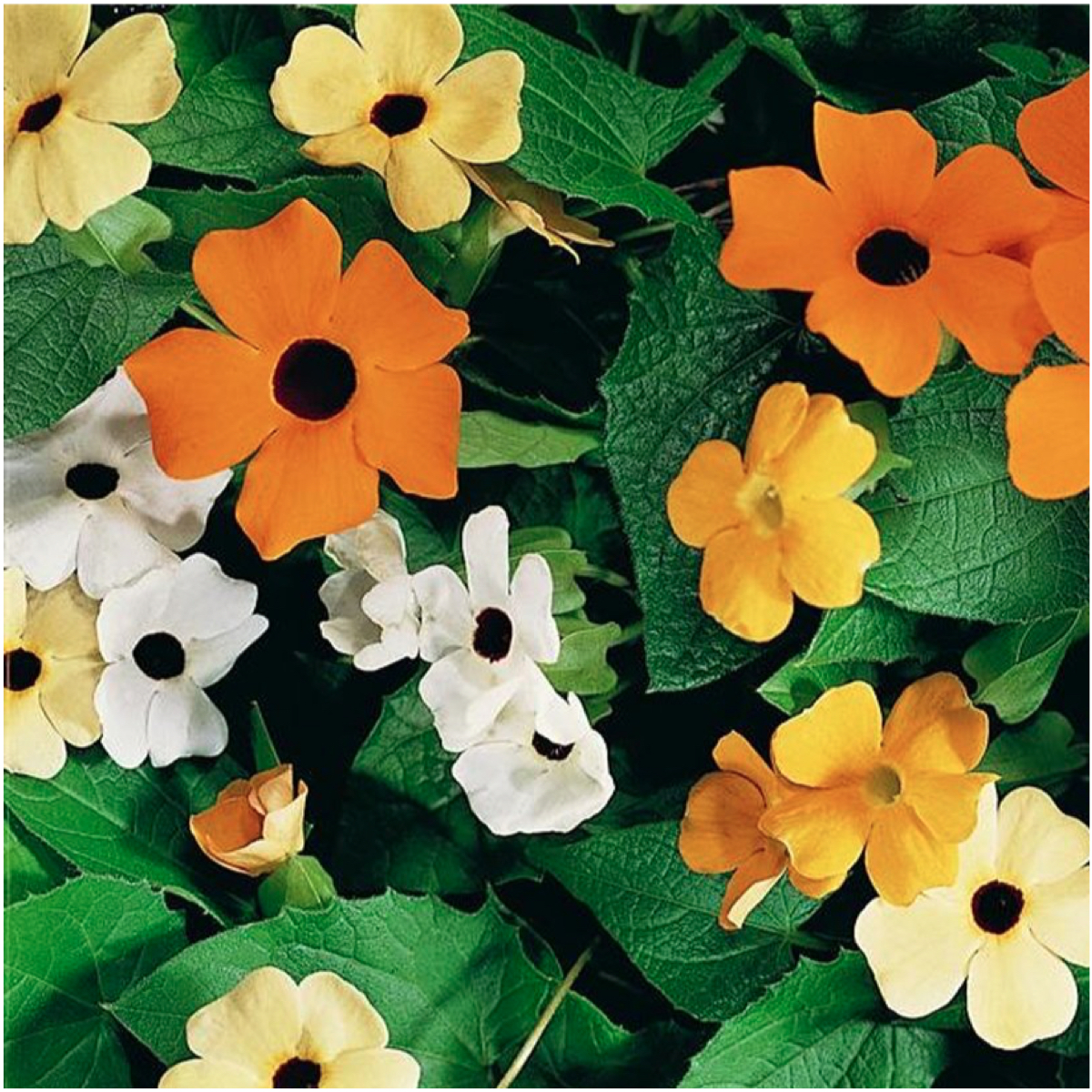 """100 Seeds, Black Eyed Susan Vine """"Mixed Colors"""" (Thunbergia alata) Open Pollinated Seeds By Seed Needs"""