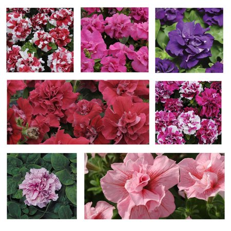 Double Wall Rod (Petunia - Double Madness Series Flower Garden Seed - 1000 Pelleted Seeds - Color Mix Blooms - Annual Flowers - Double Floribunda Petunias )