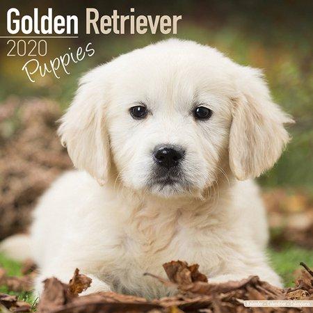 Golden Retriever Puppies Calendar 2020 - Golden Retriever Puppies Dog Breed Calendar - Golden Retriever Puppiess Premium Wall Calendar 2020