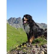 LAMINATED POSTER Bernese Mountain Dog Mountains Dog Animal Picture Poster Print 24 x 36