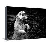 Black and White Picture of a White Tiger Standing in Water Stretched Canvas Print Wall Art By Kjersti Joergensen