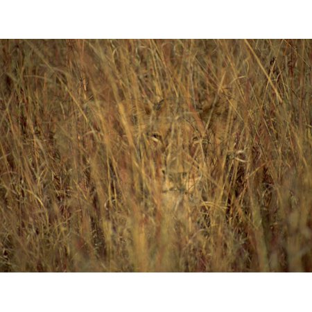 Portrait of a Lioness Hiding and Camouflaged in Long Grass, Kruger National Park, South Africa Print Wall Art By Paul Allen ()