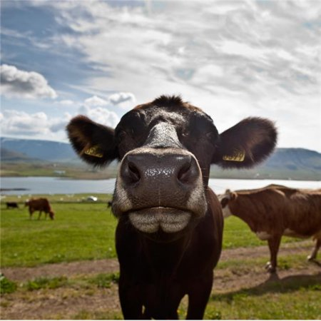 Dairy Cows Western Iceland Poster Print, 12 x 12 Western Cow Print