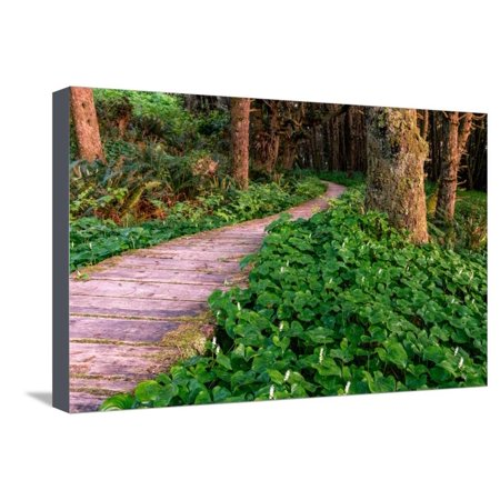 False Lily of the Valley plant growing near Boardwalk in Temperate Rainforest Stretched Canvas Print Wall