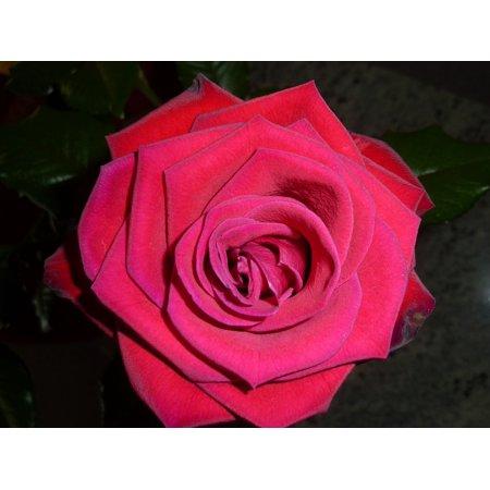 Laminated Poster Valentine Rose Red Rose Rose Bloom Plant Beauty Poster Print 24 x - Valentine Rose
