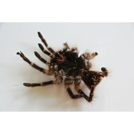 Laminated Poster Tarantula Hair Skin Large Spider Fear Nasty Poster Print 24 x 36 (Spider Tarantula)