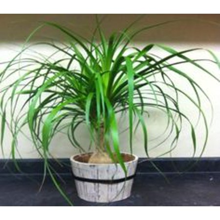 Image of Outer Edge Pony Tail Mult In 6 Inch Pot
