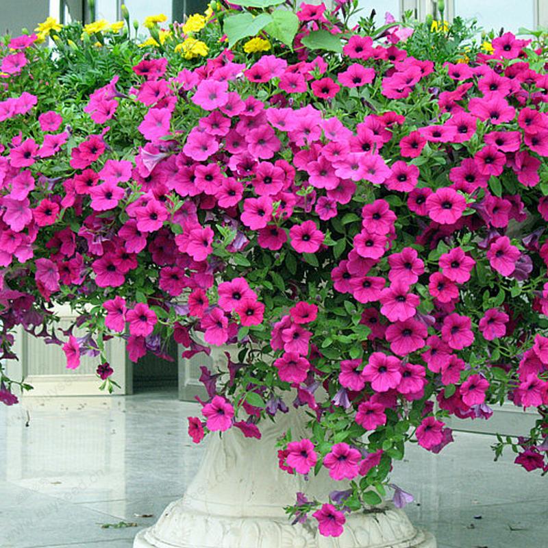 Image of 1.75qt Petunia Basic