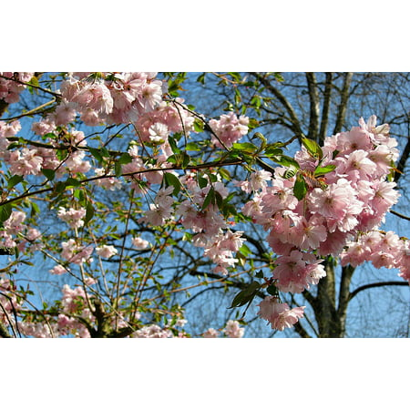 Framed Art For Your Wall Cherry Blossoms Bush Blossom Pink Spring Tree 10x13 Frame