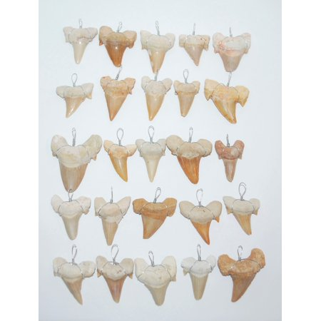 OTODUS Shark Tooth Pendants for Necklaces LOT OF 25 Real Fossils 1 1/4 inch Size