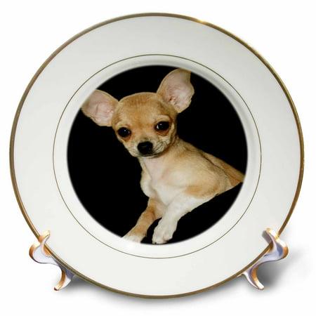 3dRose Beautiful Chihuahua Portrait - Porcelain Plate, -