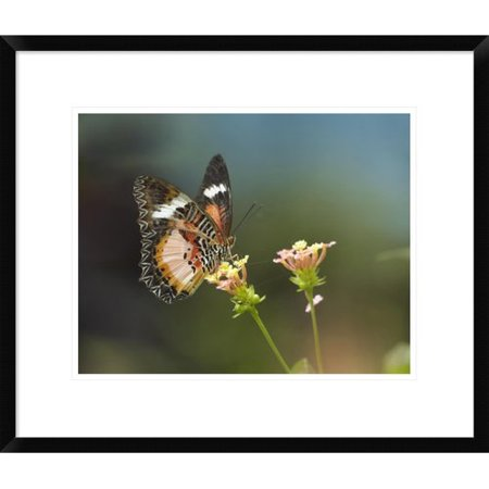 Global Gallery Nymphalid Butterfly Feeding On Flower Nectar  Native To Asia By Tim Fitzharris Framed Photographic Print
