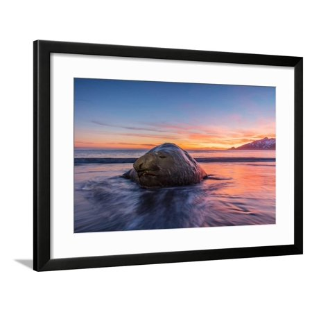 South Georgia Island, St. Andrew's Bay. Elephant Seal in Beach Surf at Sunrise Framed Print Wall Art By Jaynes