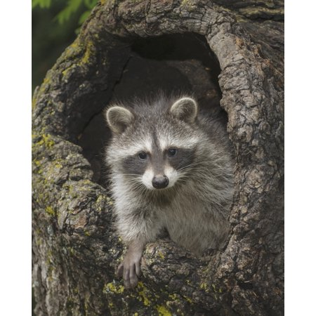 Young raccoon (Procyon lotor) in hollow stump Montana United States of America Canvas Art - Rebecca Grambo  Design Pics (13 x (Quick Way To Hollow Out A Stump)