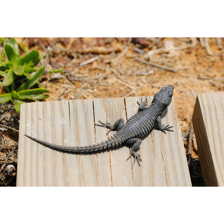 LAMINATED POSTER South Africa Gecko Lizard Cape Point Salamander Poster Print 24 x