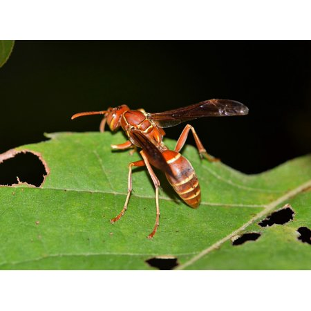 Canvas Print Umbrella Wasp Insect Stinger Wasp Paper Wasp Sting Stretched Canvas 10 X 14